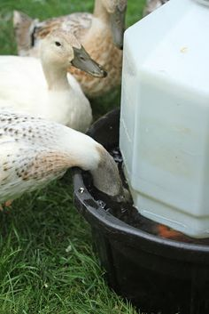 Makin' it with Frankie: Watering Solution for Ducks from a Little Giant poultry waterer. Better for their bills!