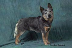 Australian Cattle Dog (ACD) Multi Ch. Heelersridge Emublu King