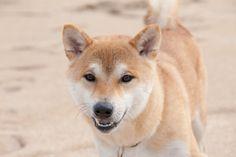 やま砂浜 All Types Of Dogs, Husky, Corgi, Friends, Animals, Amigos, Corgis, Animales, Animaux