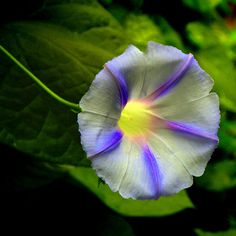 Morning Glory [Ipomoea] Flower - My mom use to grow these Beautiful Flowers Pictures, Amazing Flowers, Pretty Flowers, Flower Images, Flower Pictures, Morning Glory Flowers, Flowering Vines, Plantar, Exotic Flowers
