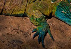 """Komodo Dragon at San Diego Zoo The """"dragons"""" are the only thing that I remember about my time in California."""