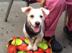 Meet Sam, a Petfinder adoptable Maltese Dog | New York, NY | Meet Sam! He looks like a Maltese and Poodle mix, a Maltipoo. He has just been groomed, and is...
