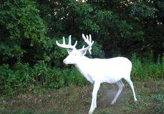 アルビノの鹿が神々しい
