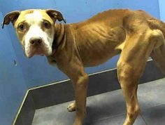 Manhattan Center    ROSCOE - ID#A0956400    I am an unaltered male, tan and white Pit Bull Terrier mix.    The shelter staff think I am about 4 years old.    I was found in NY 10039.    I have been at the shelter since Jan 30, 2013      For more information on adopting please read the following:  https://www.facebook.com/Urgentdeathrowdogs/app_137541772984354