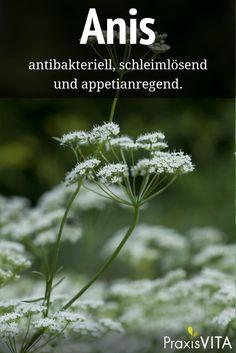 Die ätherischen Öle des Anis sollen den Milchfluss während der Stillzeit fördern. Die Pflanze kann aber auch bei Bronchitis oder Muskelschmerzen helfen.