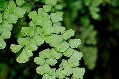Adiantum capillus-veneris L (culantrillo)