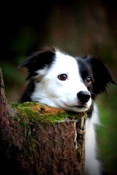 Border Collie. Esta raza de perros son considerados los más inteligentes... y guapos