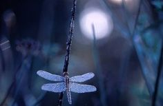 dragon dew by ~jbrum on deviantart Dragonfly Insect, Blue Dragonfly, Rainer Maria Rilke, Midnight Garden, Nature Hd, Moon Garden, Nature Pictures, Shades Of Blue, Pet Birds