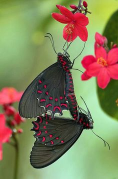 Photinus Butterflies Mating on Peregrina flowers. Wings of the Tropics, Fairchild Tropical Botanic Garden. Parides Photinus Butterflies Mating on Peregrina flowers.Parides Photinus Butterflies Mating on Peregrina flowers. Papillon Butterfly, Butterfly Kisses, Butterfly Flowers, Butterfly Wings, Butterfly Meaning, Butterfly Species, Red Flowers, Beautiful Bugs, Beautiful Butterflies