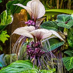 White Bat flower - Tacca integrifolia by Francisco Herrera / Sun Plants, Patio Plants, Exotic Plants, Shade Plants, Potted Plants, Unusual Plants, Flowering Plants, Strange Flowers, Unusual Flowers