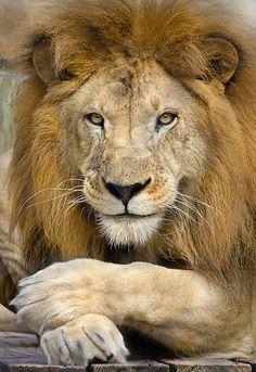 Lion by Adam Baron - Photo 7606143 - Lion Images, Lion Pictures, Beautiful Lion, Animals Beautiful, Lion Photography, Lions Photos, Lion And Lioness, Lion Love, Lion Wallpaper