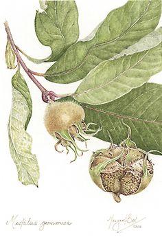 botantical illustration of Mespilus germanica