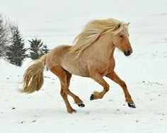 Palomino or Flaxen Chestnut? Beautiful horse, though. All The Pretty Horses, Beautiful Horses, Animals Beautiful, Farm Animals, Animals And Pets, Cute Animals, Icelandic Horse, Majestic Horse, Palomino