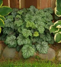 Red Plants, Garden Plants, House Plants, Pink Leaves, Golden Leaves, Sandy Soil, Heuchera, Woodland Garden, Flowers Perennials