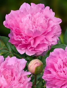 Dinner Plate is a perfect name for this PEONY variety with its very large flowers. Flowers are sweet smelling and very full. Very reliable variety. Large Flowers, Cut Flowers, Colorful Flowers, Pink Flowers, Amazing Flowers, Beautiful Flowers, Paeonia Lactiflora, Primroses, Peonies Garden