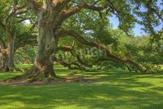Old Oak Tree At Oak Alley Plantation In Louisiana Mural - RF Images| Murals Your Way