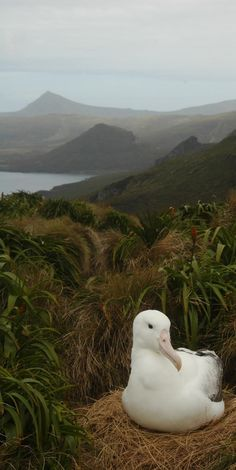 Southern Royal Albatross - NZ