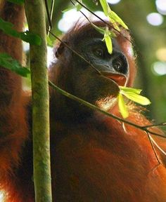 The TIME is NOW! Outrage as palm oil companies exterminate hundreds of orang-utans - Devastating fires deliberately set by palm oil companies in Indonesia may have killed hundreds of Sumatran orang-utans. And the land grab means the creatures may have only weeks or a few months, before disappearing forever.