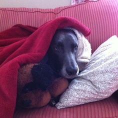Hibernating #weim