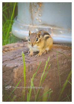 Chipmunk | Orlando Photographer| Landscape Photography| Sliwa Studios Photography