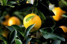 #acid reflux and breathing problems_2210_20200425080357_73   aloe vera juice for...#acid #aloe #breathing #juice #problems22102020042508035773 #reflux #vera Planting Fruit Trees, Fruit Plants, Fall Planting, Edible Plants, Negative Calorie Foods, Xls Medical, Meyer Lemon Tree, How To Grow Lemon, Acerola