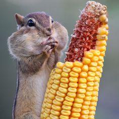 Chipmunk eating corn.