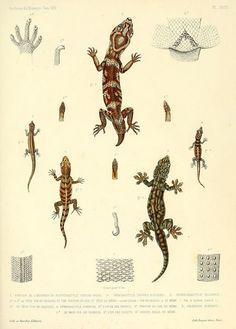 Description des reptiles nouveaux ou imparfaitement connus de la collection du Muséum d'histoire naturelle et remarques sur la classification et les caractères des reptiles..  [Paris :Muséum d'histoire naturelle]1852-.  biodiversitylibrary.org/page/4039621    #lizard #gecko #reptile #herpetology #illustration