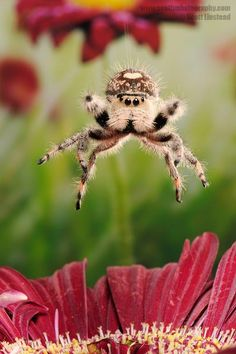 Regal Jumping Spider Jumping by Scott Linstead - Regal Jumping Spider Jumping Photograph - Regal Jumping Spider Jumping Fine Art Prints and . Cool Insects, Bugs And Insects, Foto One, Spiders And Snakes, Cool Bugs, Jumping Spider, Fotografia Macro, Beautiful Bugs, Animal Photography