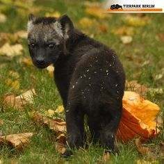 Hyena Cub Will Earn His Spots at Berlin Zoo