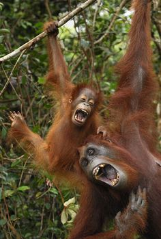 A orangutan mother and her one-year-old offspring seem almost like humans as they have a good laugh together in the tree tops. Photographer Thomas Marent caught the heart-warming scene on camera in Indonesia