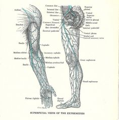 arm vein anatomy - health, medicine and anatomy reference pictures, Cephalic Vein