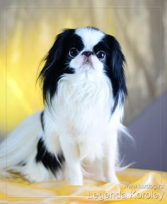 fluffyMoi offers everything for your cute & special pet. We provide products & services for premium pet toy dogs & cats. Japanese Chin Puppies, Japanese Dogs, I Love Dogs, Cute Dogs, Asian Dogs, Pekingese Puppies, Cute Friends, Little Dogs, Fur Babies