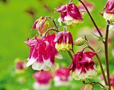 10 najkrajších trvaliek 10 Rose, Flowers, Plants, Gardening, Pink, Lawn And Garden, Plant, Roses, Royal Icing Flowers
