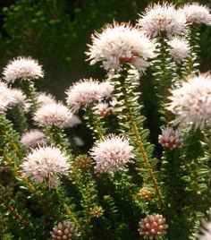 A dense, aromatic shrub with fine foliage, and white to mauve flowers from May to December. Family: Rutaceae Botanical Pronunciation: ag-ath-OHS-muh Plant Information, Plants, Garden, Desert Landscaping, Fynbos, Trees To Plant, Flowers, Fragrant Plant, Waterwise Garden