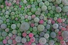 """Baseball Euphorbia (Euphorbia obesa) - to 8"""", This interesting succulent plant has a rounded shape like a baseball. Its gray-green flesh is marked with burgundy stripes. Crassula Succulent, Succulent Gardening, Cacti And Succulents, Planting Succulents, Planting Flowers, Unusual Plants, Cool Plants, Air Plants, Garden Plants"""
