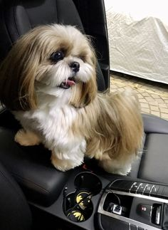 Shih Tzus are true companion dogs. Bred for centuries to be man's best friend, it's no wonder that Shih Tzu puppies are among the most popular of tiny breeds. Are you thinking about bringing a Shih Tzu puppy into your life? Read on to see what to expect! Perro Shih Tzu, Shih Tzu Hund, Baby Shih Tzu, Maltese Shih Tzu, Shih Tzu Puppy, Shitzu Puppies, Cute Puppies, Cute Dogs, Dogs And Puppies