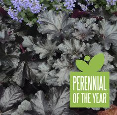 Proven Winners - Primo® 'Black Pearl' - Coral Bells - Heuchera hybrid pink white white with pink calyxes plant details, information and resources. Hydroponic Gardening, Organic Gardening, Gardening Blogs, Container Gardening, Coral Bells Heuchera, Bell Gardens, Border Plants, White Plants, Black Garden