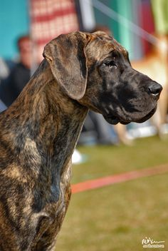 Brindle Great Dane Portrait by xmiriam DeviantART