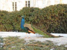 Peacock, Lazienki Park, (photo mine)