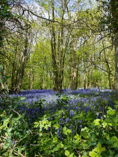 Oh to be in England, now that April's there......(Robert Browning)  Bluebell Woods in Kent, England