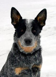 Dooley. Australian Cattle Dog (Blue Heeler)