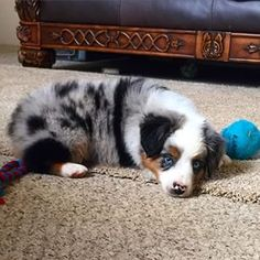 Even when they're not trying.   19 Reasons Australian Shepherds Are The Best-Looking Dogs In The World