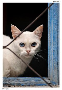 Blue eyes cat kitten love adorable