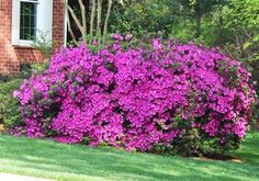 Another pic of the Only Purple Azalea that Blooms Spring, Summer & Fall Autumn Royalty Encore Azaleas