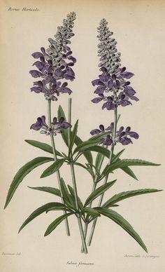 SNHF | Salvia farinacea