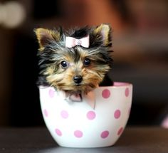 <3<3<3 Jocelyn the Pocketbook Yorkie FOR SALE! <3<3<3 954-353-7864 www.teacuppuppiesstore.com #yorkie #yorkshireterrier #teacup #micro #pocketbook #teacuppuppies #teacuppuppiesstore #tiny #teacupyorkie #teacupyorkshireterrier #small #little #florida #miami #fortlauderdale #bocaraton #westpalmbeach #southflorida #soflo #miamibeach #cute #adorable #puppy #puppyforsale #puppiesforsale #puppylove #love #dog