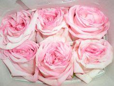 Pink O'Hara Garden Rose Garden Roses, Cut Flowers, Gardening, Plants, Pink, Lawn And Garden, Plant, Pink Hair, Roses