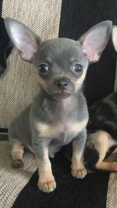 "Chihuahua Dogs My beautiful boy ""Charley Bear"" ° Baby Chihuahua, Pet Dogs, Doggies, Pets, Cute Puppies, Poodle Puppies, Little Dogs, Beautiful Dogs, Cute Baby Animals"