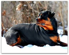 Welcome To Greendale Rotts Rottweilers, Dogs, Animals, Animales, Animaux, Rottweiler, Pet Dogs, Doggies, Animal
