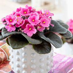 African Violets are beautiful flowers and make wonderful indoor plants. Perfect Plants, Cool Plants, Inside Plants, Cast Iron Plant, Yucca Plant, Violet Plant, Saintpaulia, Money Trees, Plant Care